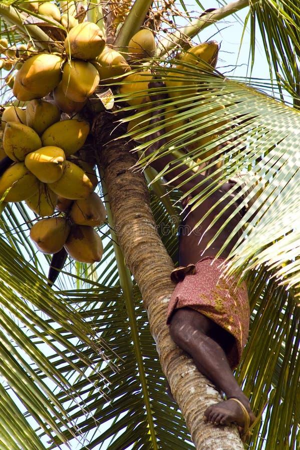 Coco indiano destro da colheita do homem imagem de stock