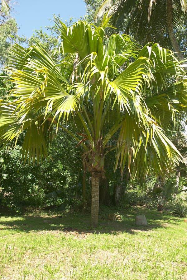 coco kokosnöt de mer gömma i handflatan fotografering för bildbyråer