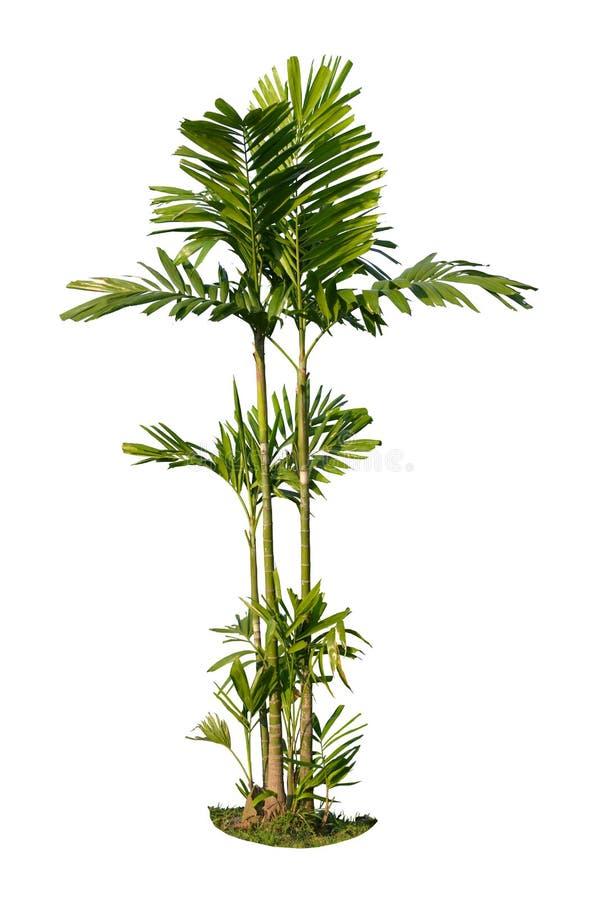 Coco ou palmeira isolado no fundo branco fotos de stock