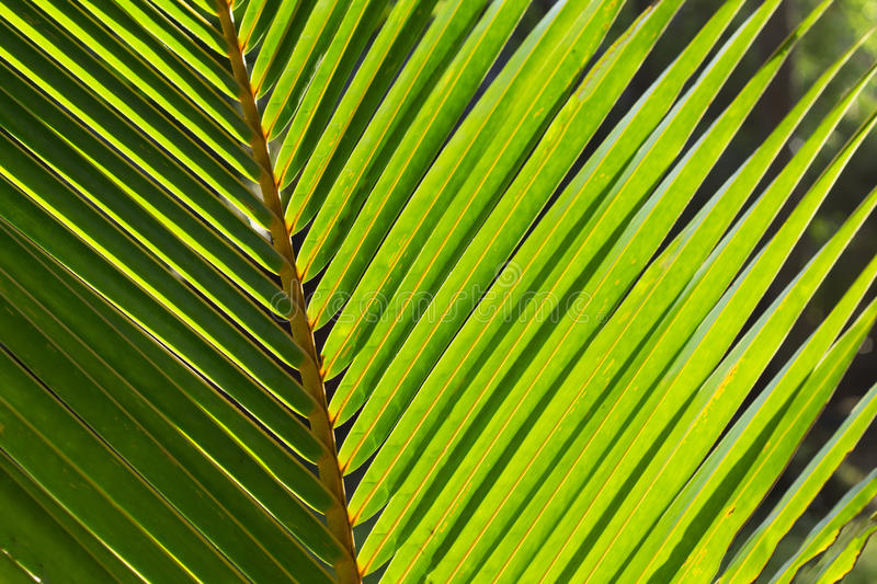 Coco palm leaf photo background. Green palm leaf in sunlight. Sunny day exotic nature wallpaper. Tropical island summer. Vacation in tropics banner template royalty free stock photography