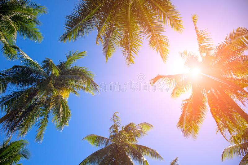 Coco palm tree top with orange flare. Palm tree crowns with green leaves on sunny sky background. stock image