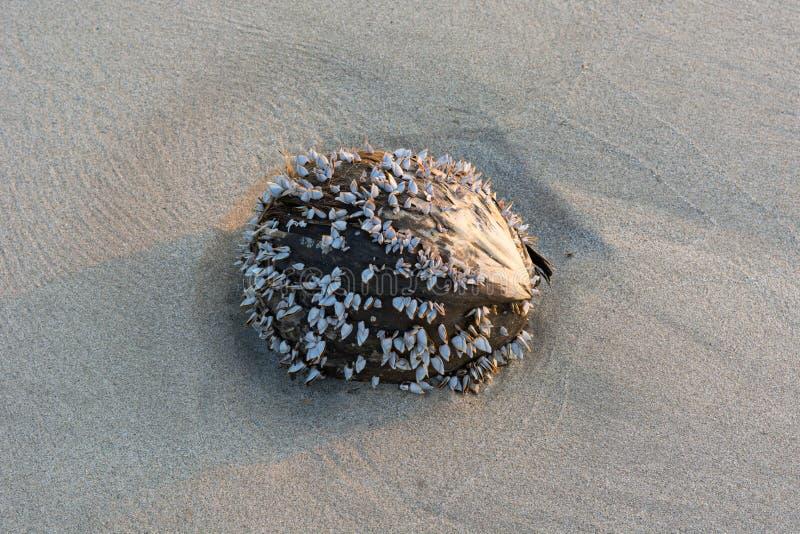 Coco seco con la almeja en la playa de la arena con el fondo azul del mar y del cielo fotografía de archivo