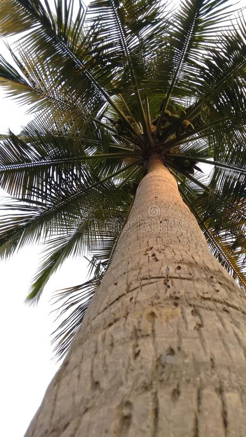 Coco tree stock photography