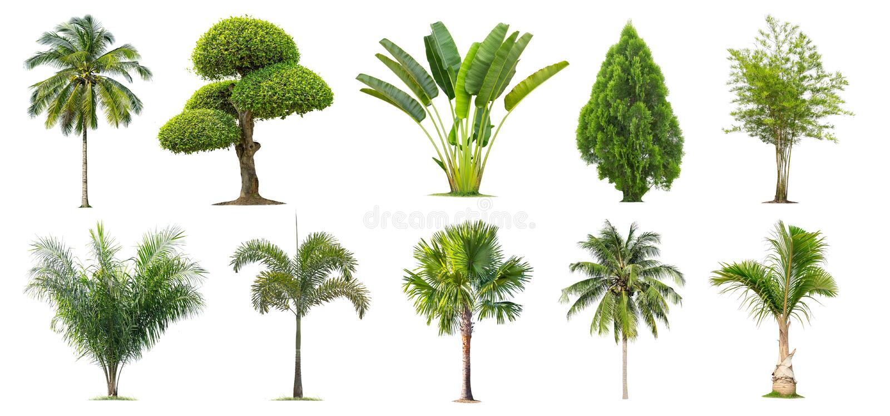 Coco y palmeras, bambú, plátano, Tako, árbol aislado en el fondo blanco, imágenes de archivo libres de regalías