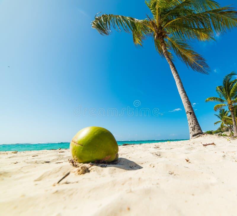 Coco y palmeras en la playa de Clairs de las pasas en Guadalupe imagen de archivo