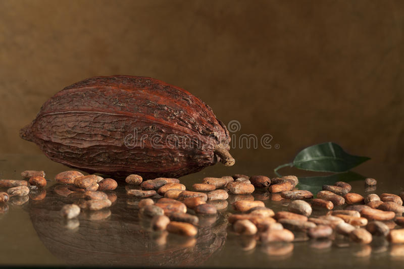 Download Cocoa bean stock photo. Image of descriptive, brown, studio - 23145852