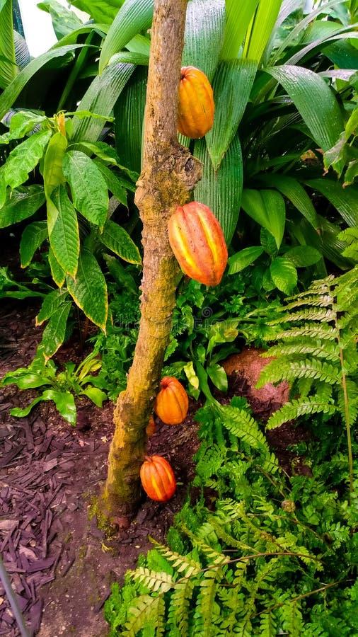 Cocoa bean royalty free stock photography