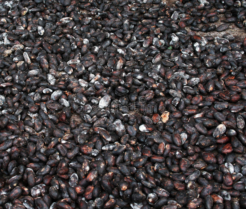 Cocoa beans drying royalty free stock photography