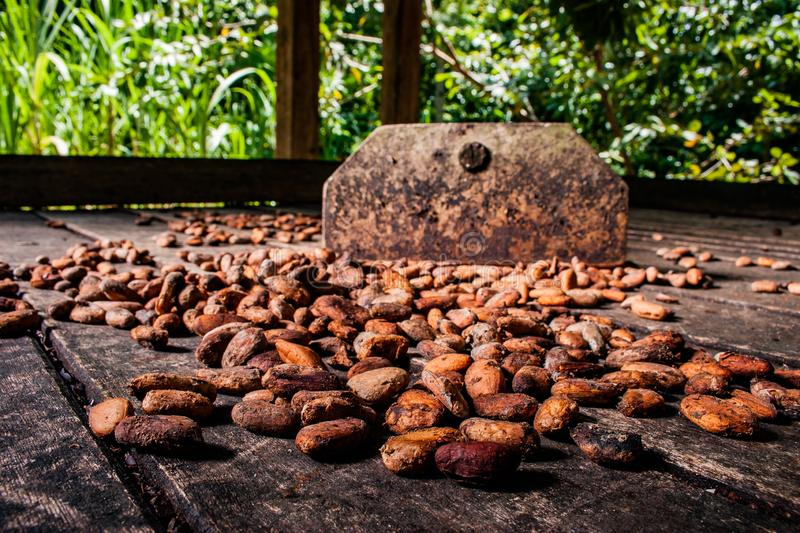 Cocoa beans drying on a shed in Baracoa, Cuba royalty free stock photography