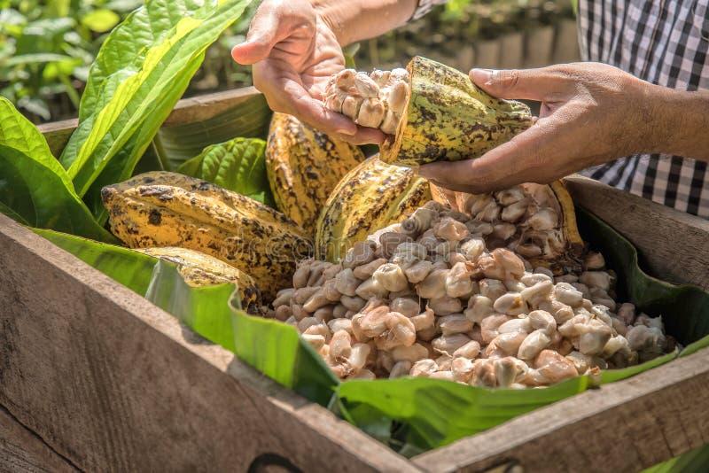 Cocoa Beans and Cocoa Fruits stock photos