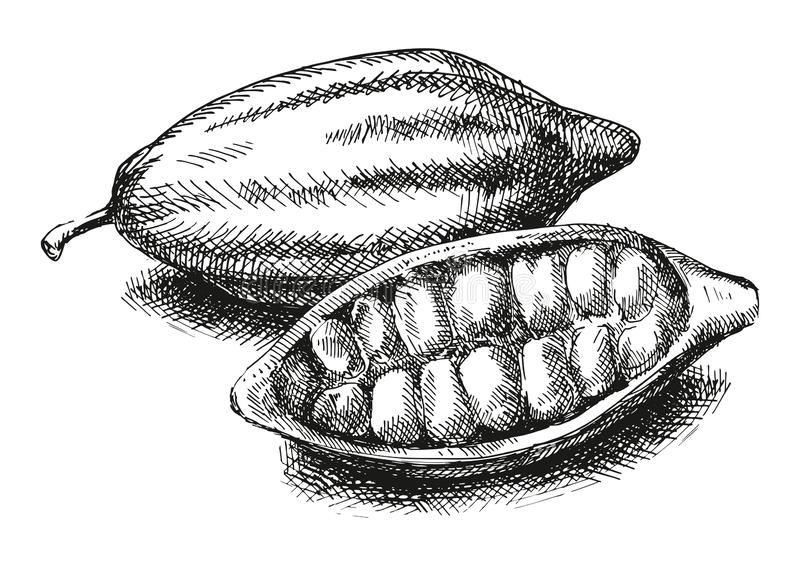 Cocoa beans illustration. Version royalty free stock photo
