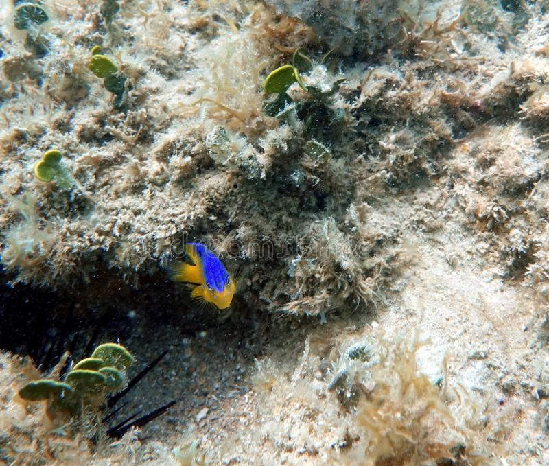 Cocoa Damselfish swimming in the ocean royalty free stock photography