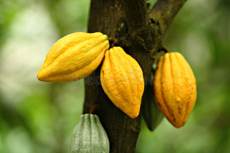 Download Cocoa pods stock photo. Image of forest, kauai, basin - 18341370
