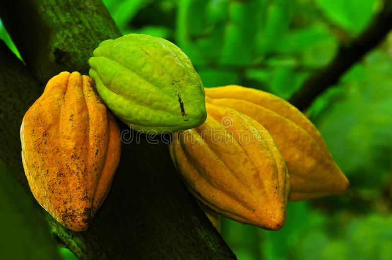 Cocoa pods. Four cocoa pods on the plant with natural background royalty free stock images