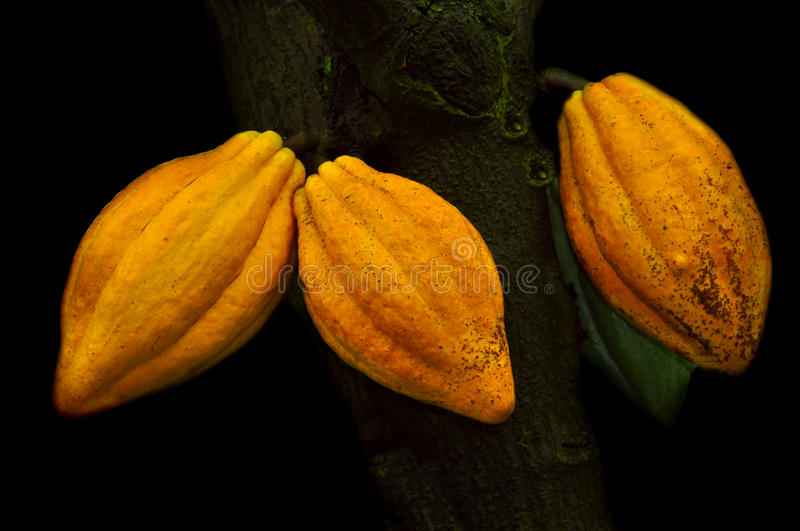 Cocoa Pods. Image of three cocoa pods on the tree stock image