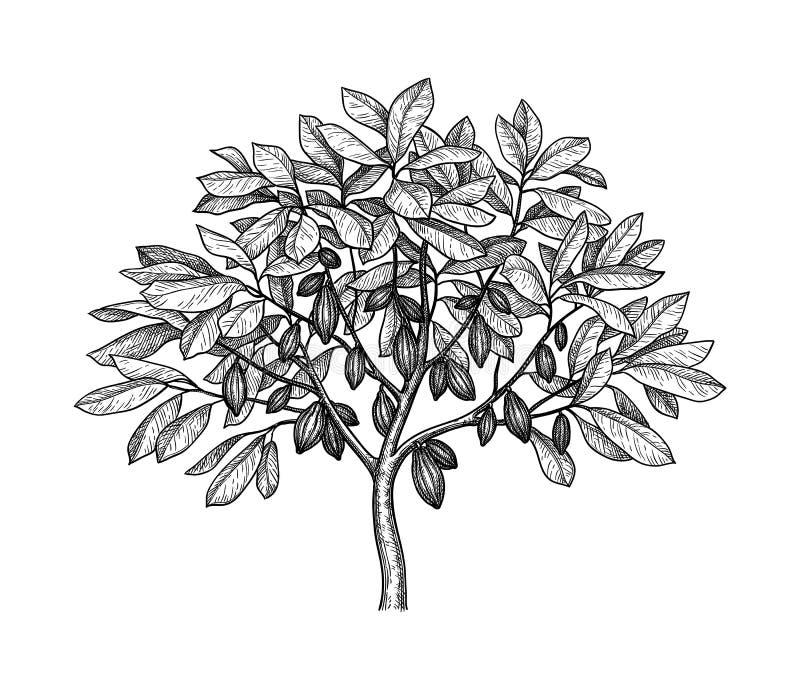 Cocoa tree ink sketch. Cocoa tree. Ink sketch isolated on white background. Hand drawn vector illustration. Retro style vector illustration