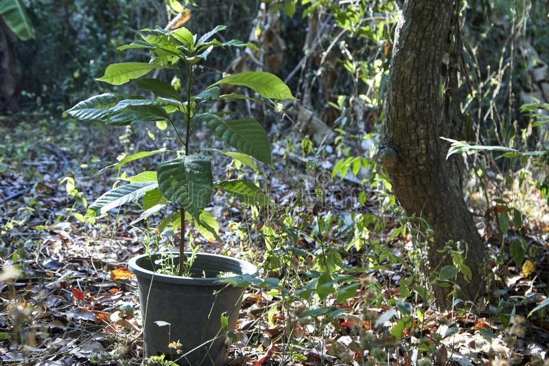 Cocoa tree which manages planting in pot royalty free stock image