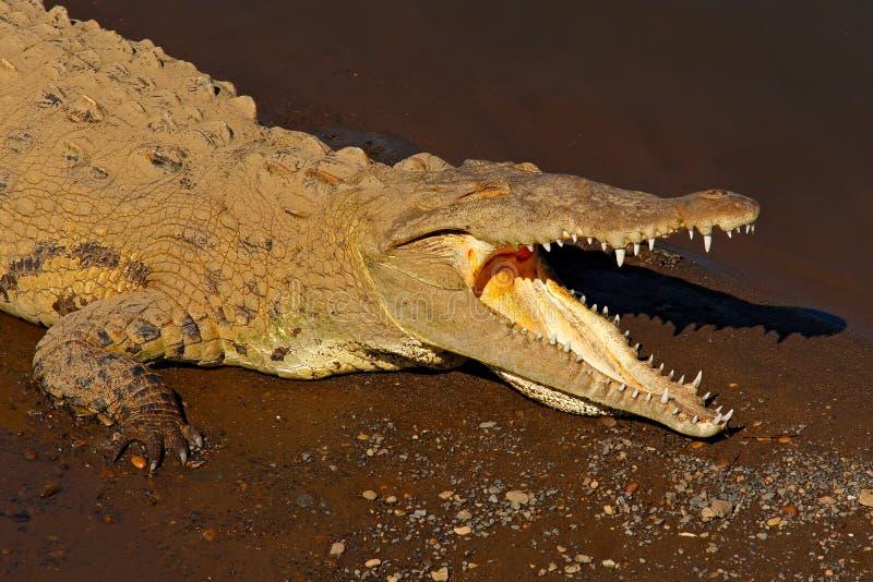 Cocodrilo americano, acutus del Crocodylus, animal en el agua de río Escena de la fauna de la naturaleza Cocodrilo del río Tarcol fotos de archivo