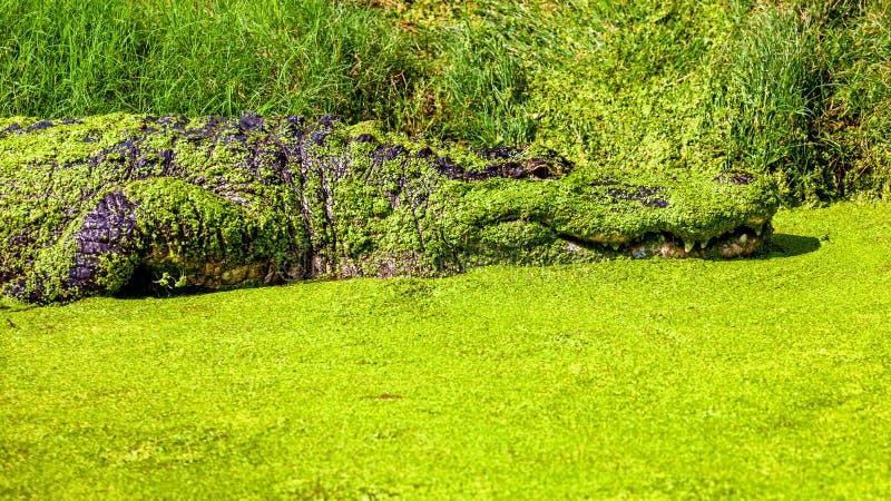 Cocodrilo americano cubierto en Duck Weed verde imagen de archivo