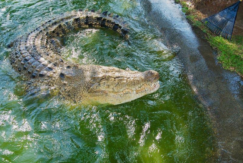Cocodrilo australiano en agua en Queensland, Australia imágenes de archivo libres de regalías