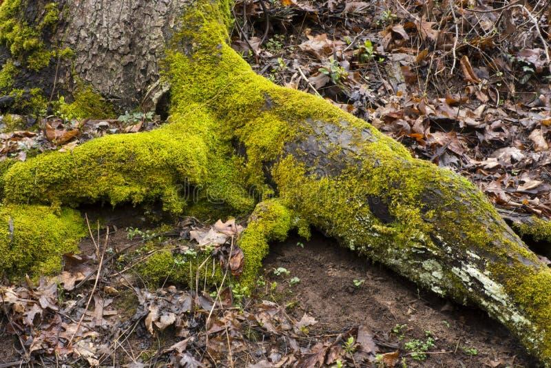 Cocodrilo cubierto de musgo de la raíz del árbol foto de archivo