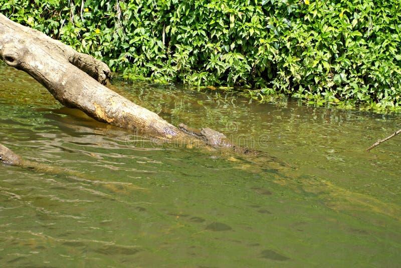 Cocodrilo de agua dulce en Barron River imágenes de archivo libres de regalías