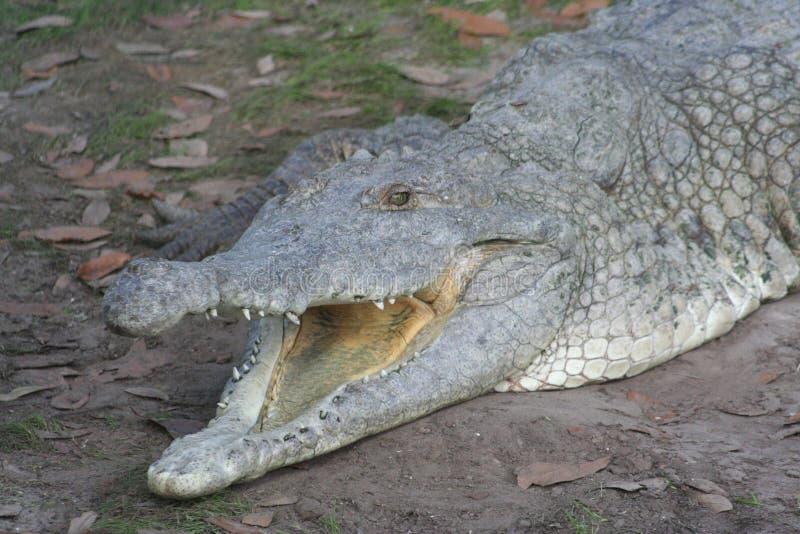 Cocodrilo de Orinoco (intermedius del Crocodylus) imagen de archivo libre de regalías