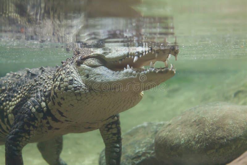 Cocodrilo debajo del agua foto de archivo
