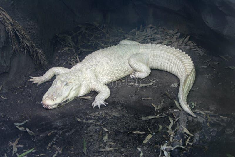 Cocodrilo del albino fotos de archivo libres de regalías