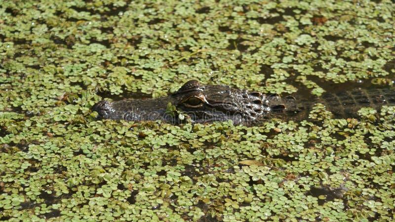 Cocodrilo en el pantano imagen de archivo