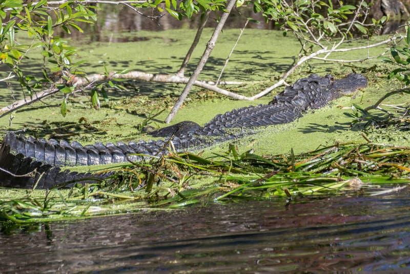 Cocodrilo grande de la Florida imagen de archivo