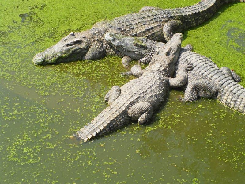 Cocodrilo grande en el lago verde fotografía de archivo libre de regalías