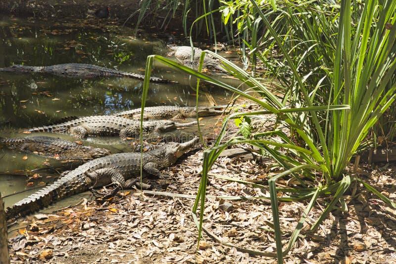 Cocodrilos de agua dulce en el norte de Queensland fotografía de archivo
