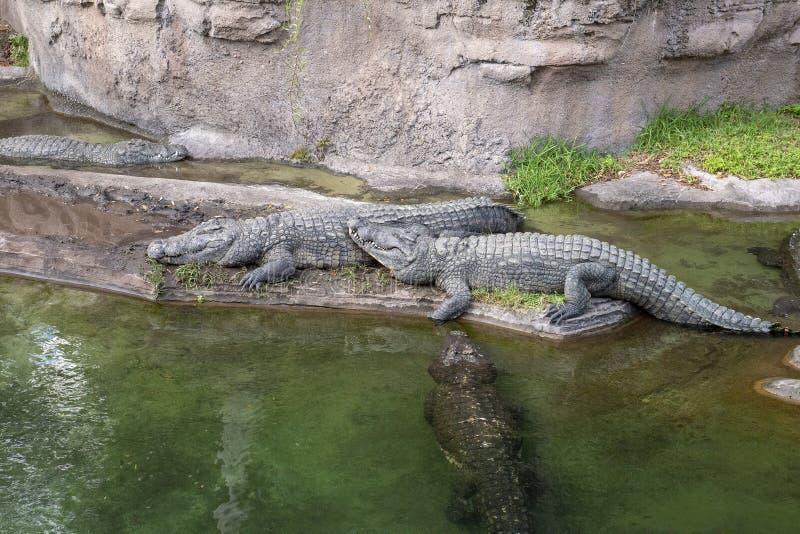 Cocodrilos, Disney World, reino animal, viaje, parque zoológico fotos de archivo libres de regalías
