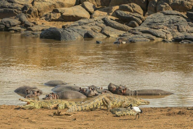 Cocodrilos y hipopótamos fotografía de archivo libre de regalías