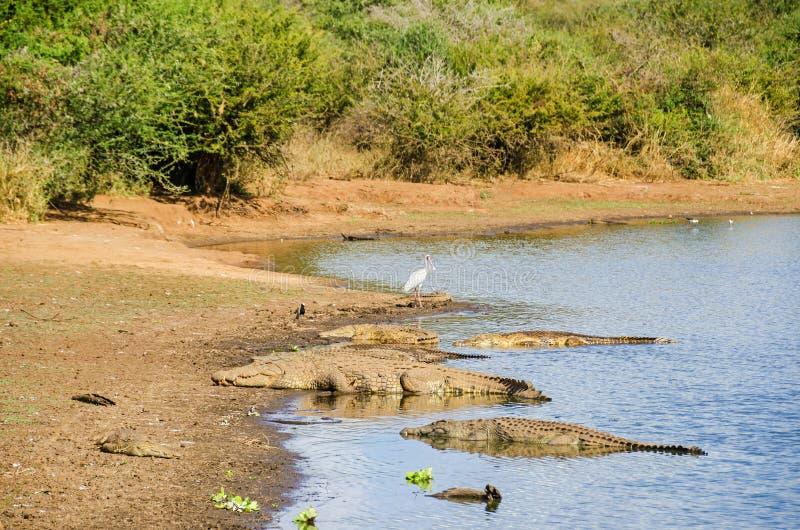 Cocodrilos y spoonbill africano en los bancos de Sabie River en el parque nacional de Kruger fotos de archivo