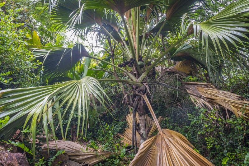 Cocoen de mer gömma i handflatan, Seychellerna royaltyfria foton