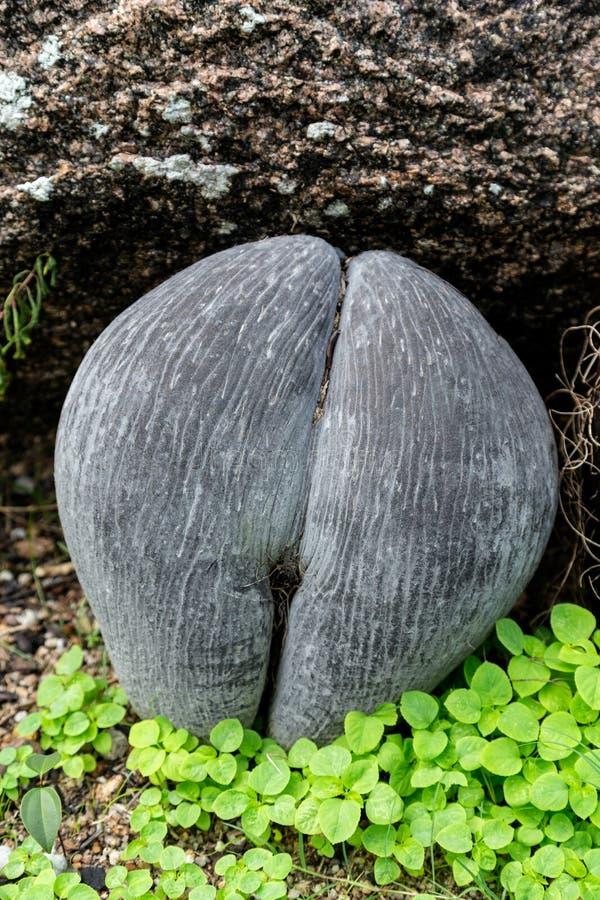 Cocoen de mer kärnar ur frånt Seychellerna gömma i handflatan arkivbilder