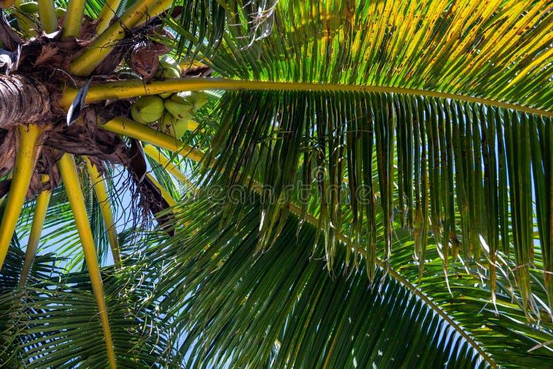 Cocoen gömma i handflatan den bästa closeupen på bakgrund för blå himmel Palmträdkrona med kokosnötter Exotiskt ställe för semest royaltyfri bild