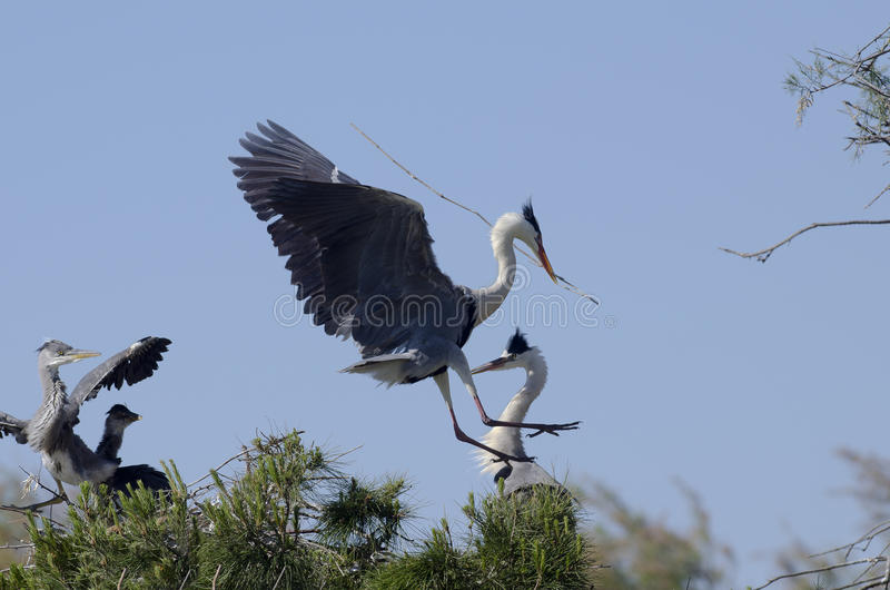 Download Cocoi Heron (Ardea Cocoi) Landing Royalty Free Stock Image - Image: 19545146