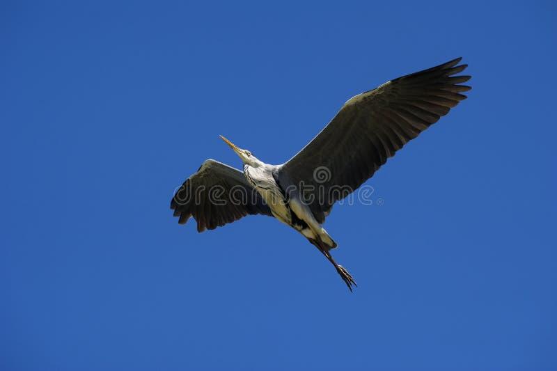 Download Cocoi Heron (Ardea Cocoi) Landing Stock Images - Image: 19678804