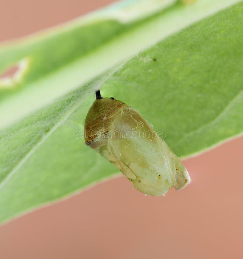 Cocon de papillon de monarque photographie stock libre de droits