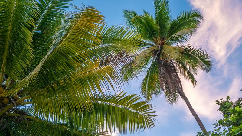 Coconat Palm on the Beach of Gam Island. Raja Ampat, Indonesia, West Papua.  stock photography