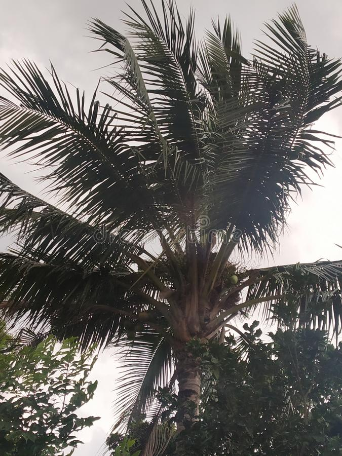 A coconat tree during strom royalty free stock images