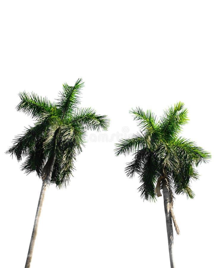 Coconout-Baum lizenzfreies stockbild