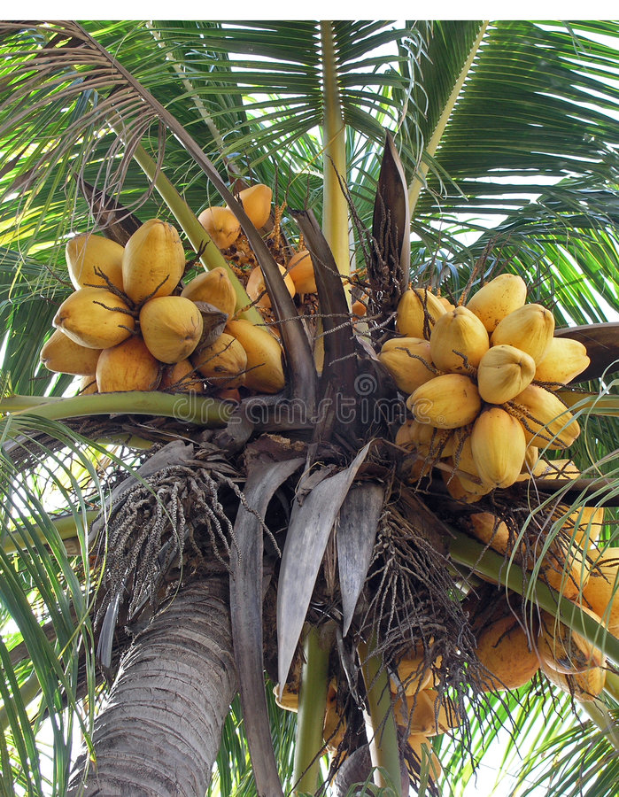 Download Coconut stock image. Image of background, fruit, brown - 1002735