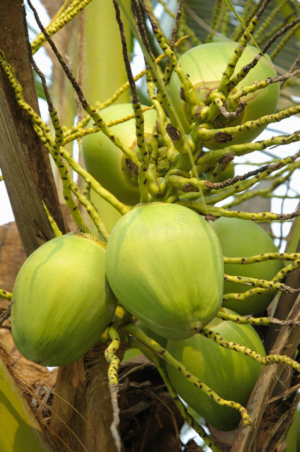 Download Coconut stock photo. Image of tree, hard, coconut, fruit - 10470712