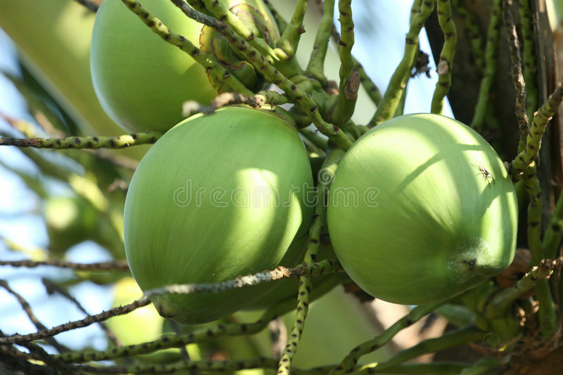 Download Coconut stock image. Image of fresh, plantation, produce - 1274977