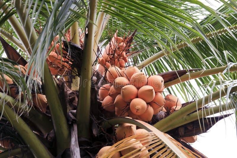 Download Coconut stock photo. Image of closeup, garden, fresh - 20713436