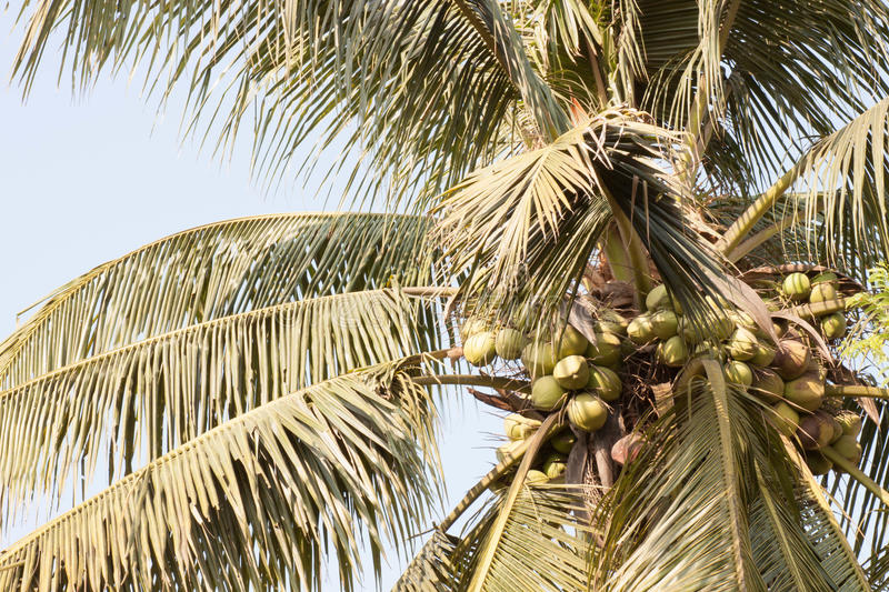 Download Coconut stock photo. Image of flora, fruit, nutrition - 24253308